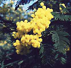 http://cr.middlebury.edu/public/russian/Bulgakov/public_html/Images/mimosa.jpg